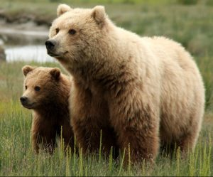 Rashbam: Lions and Birthrights and Bears, Oh My! (Toldot)