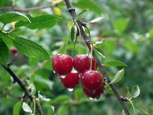 Ibn Ezra: Branches and Berries (Lech Lecha)